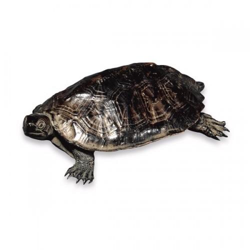 bronze tortue Seimin.jpg